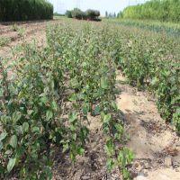 批发红富士苹果苗 产量高 质量有保证 泰安大地果树园艺场
