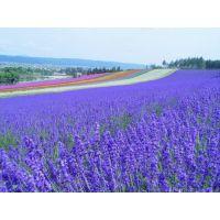 供应蓝花薰衣草种子普鲁旺斯的浪漫薰衣草花种子