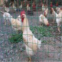 现货1.8米荷兰网 养鸡围栏网 围山围栏网 养鸡铁丝网威海乳山万通丝网中转站常年备有现货