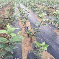 烟富8号苹果苗价格 矮化苹果苗基地