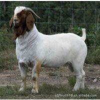 大量山东肉羊养殖场提供:大耳朵羊、红头山羊、白山羊