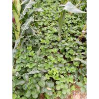 红颜草莓苗 高产草莓苗 质量有保证 自产自销 泰安大地果树园艺场