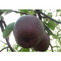 意大利黑梨直销果树苗 优质嫁接梨树苗 现货充足 新品种梨树 味甜