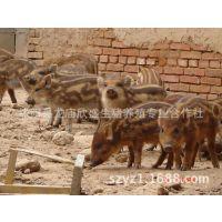 纯种野猪 特种野猪苗 绿色肉食野猪 野猪生态养殖 培育良种野猪苗