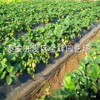 浙江草莓苗 脱毒草莓苗 草莓苗的价格