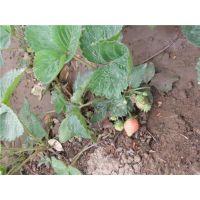 玉溪甜查理草莓苗|龙泽苗木(图)|甜查理草莓苗批发