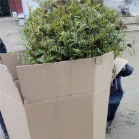1公分大红袍花椒苗哪里有 山东鑫豪园艺场批发出售大红袍花椒树苗