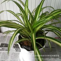 金边吊兰金心吊兰盆栽桌面绿植植物花卉净化空气批发办公室内