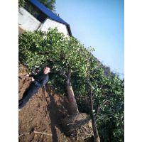 原生香泡树10公分15公分20公分价格表 湖南逸彩园林公司***低批发价