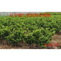 辽宁红豆杉种苗基地、密枝红豆杉扦插苗、日本红豆杉扦插苗