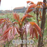 直销大棚香椿苗 规格齐全红油香椿苗 短枝多头香椿树苗