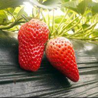 广元红花草莓苗,乾纳瑞农业科技(图),红花草莓苗批发