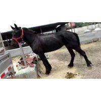 万隆牧业(在线咨询)|菏泽肉马养殖|肉马养殖技术
