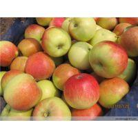 供应山东苹果 美八 嘎啦 大量上市
