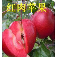 红色之爱红肉苹果苗(图)_红肉苹果苗价格_红肉苹果苗