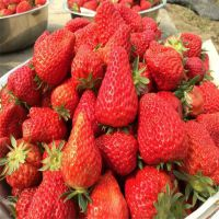 山东妙香草莓苗基地 妙香草莓苗批发价格 高产品种 大棚露地均可栽培 当年生脱毒种苗 多少钱一株