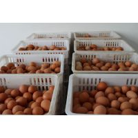 江苏裕丰禽业厂家直销优质伊莎品种蛋鸡苗,欢迎订购