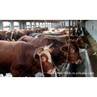 养殖场优质肉牛犊 改良肉牛 量大免费运输 畜牧局补贴运费 签合同