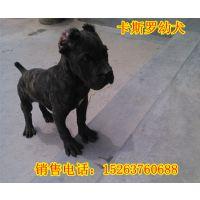 卡斯罗幼犬价格,哪里有卡斯罗犬猎犬养殖场