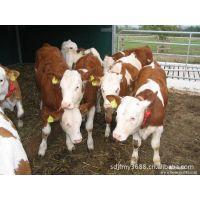 广西西门塔尔养殖基地-广西鲁西黄牛养殖基地重庆肉牛养殖基地