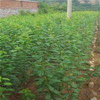 壹棵树李子苗基地大量供应株高1-2米成活率99%嫁接李子苗