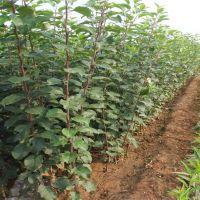 苹果苗批发 优质苹果树苗直销 嫁接苹果苗 原生苗