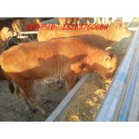 陕西高陵县哪里有大型养牛基地-肉牛犊多少钱一头