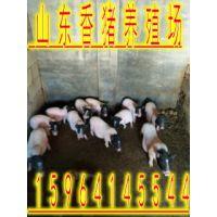 供应10--80斤的巴马香猪 香猪种猪价格