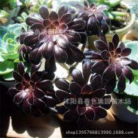 多肉植物 黑法师 黑色仙人植物 袖珍盆栽 迷你植物 净化空气