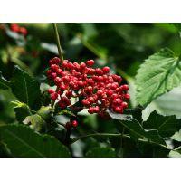 麻香大红袍花椒树苗品种 大棚花椒树苗种植技术 花椒苗批发价格