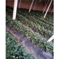 露天草莓苗品种_妙香七号草莓苗_泰安妙香七号草莓苗