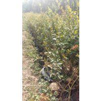 山东蓝莓苗品种 杜克 伯克利 奥尼尔