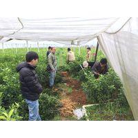 贺州大棚沙糖桔苗供应|贺州哪里有无菌沙糖桔苗买|贺州无病虫害沙糖桔苗