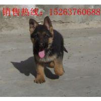 纯种牧羊犬幼犬销售,二三个月牧羊犬幼犬价格