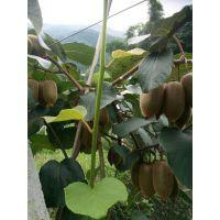 壹棵树农业批发猕猴桃树苗 奇异果树苗 徐香猕猴桃树苗南方北方种植