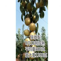 柱状梨树苗 规模化种植梨树苗新品低价格梨树苗