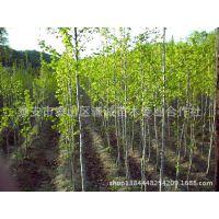专业供应银杏树22公分实生银杏价格优惠 泰安苗木基地优质易成活