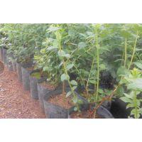 百色农业(多图)、哪里有蓝莓苗卖、黔江蓝莓苗