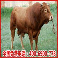 鲁西黄牛纯种养殖场直销鲁西黄牛种苗价格-广西哪里养牛