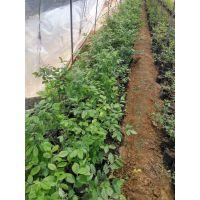 什么蓝莓苗适合山西种植/陕西蓝莓苗种植批发基地/批发蓝莓苗