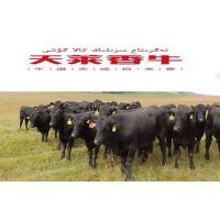 供应牛肉火锅材料 家庭牛排套餐 天莱香牛肉