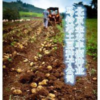 高产一代马铃薯种子预订批发价格