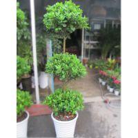武汉绿植大小吊兰吸甲醛盆栽销售,可净化空气