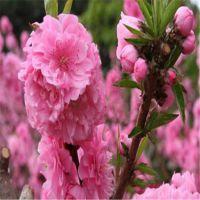红叶碧桃价格 2-3公分红叶碧桃树苗批发 工程行道绿化树苗量大从优