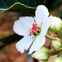 园林新品种彩叶豆梨面世将带来无限的商机