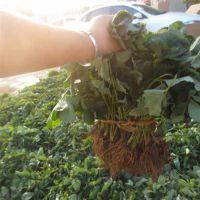 泰达园艺场、河源太空2008草莓苗、太空2008草莓苗种植