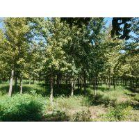 北京银杏树、绿都园林、15cm银杏树