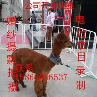 青岛首届羊驼嘉年华开幕 市民拖家带口看展览家龙羊驼租赁公司
