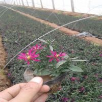 【荷兰菊价格】good荷兰菊种植方法|山东青州荷兰菊基地