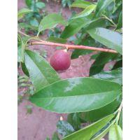 云南桃树品种嫩枝嫁接方法 脆香红桃苗嫁接 夏红桃树 晚熟桃价格